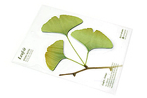 B.B.Begonia Leaf-it Memo Note Set (20 Sheets / Leaf) - Ginkgo - Green - C209GL002S